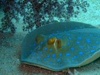 blue spotted ray_1262608830.jpg