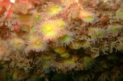 Lundy_Jewel anemones_1226597149.jpg