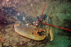 Lundy_Lobster_1226595664.jpg