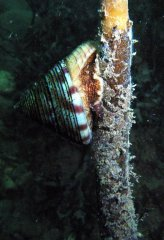 Painted Top Shell - Calliostoma zizyphinum_1201802605.jpg